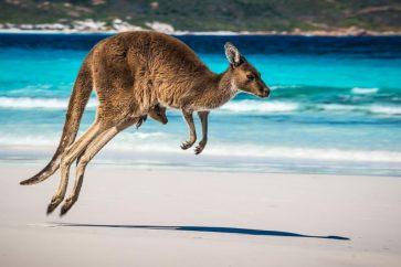 kangaroo1