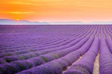 lavender-fields-provence-france-1456263408gkn48