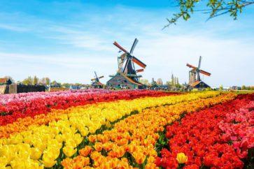 tulip-field-netherlands-shutterstock_483619153