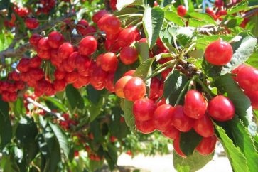 u-pick-cherries-leona-valley