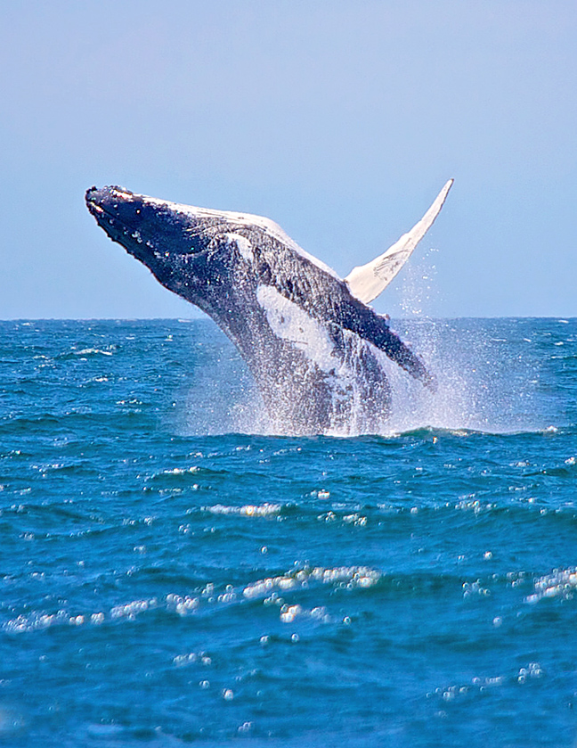 jervis-bay-whale