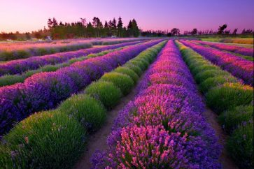 port-williams-lavender