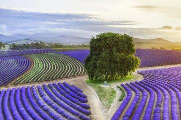 tasmania-lavender
