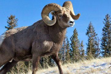 bighorn-sheep-685x320