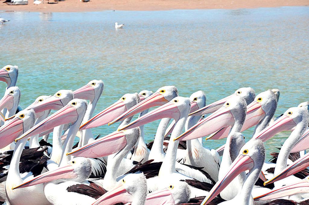 Pelican Feeding,The Entrance, Central Coast , NSW