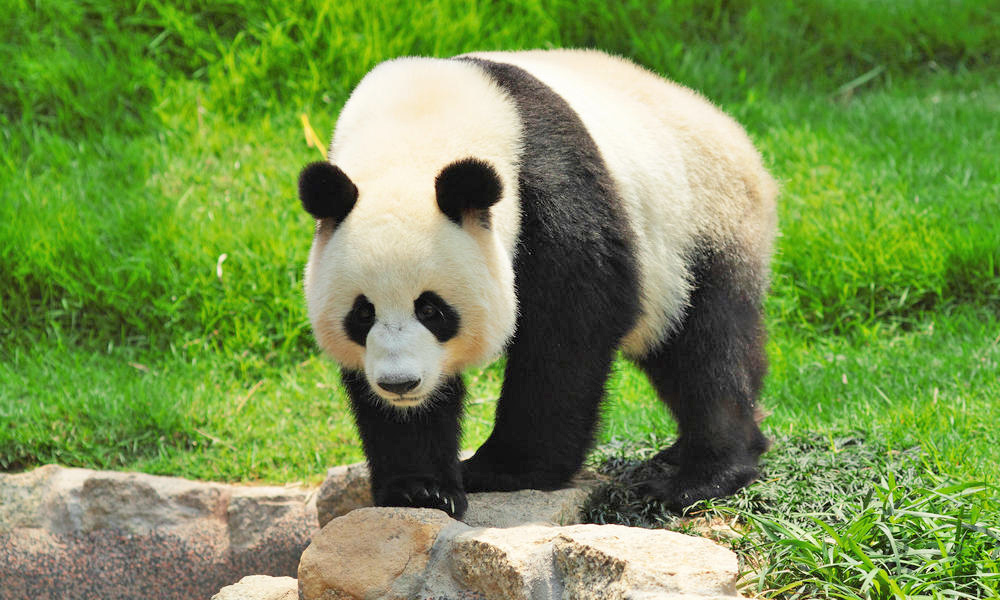 Giant panda, Chengdu Research Base of Giant Panda Breeding