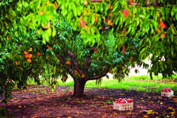 peach-tree-at-jaemor-farm-1495643416
